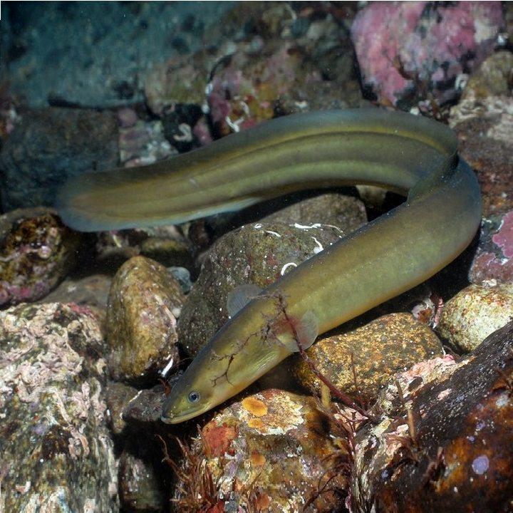 Рыба речной угорь, фото